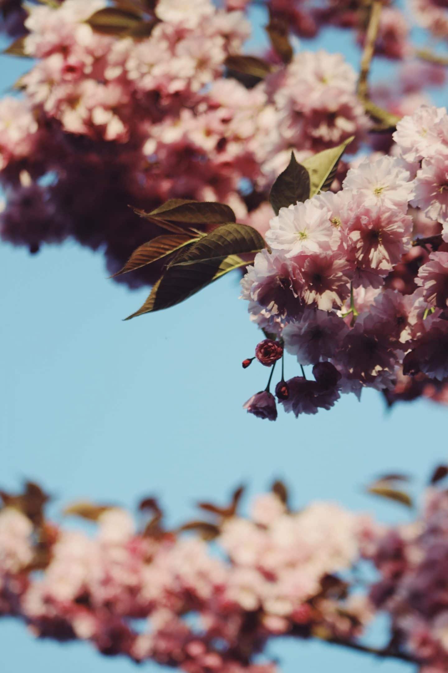 cherry-blossom-3