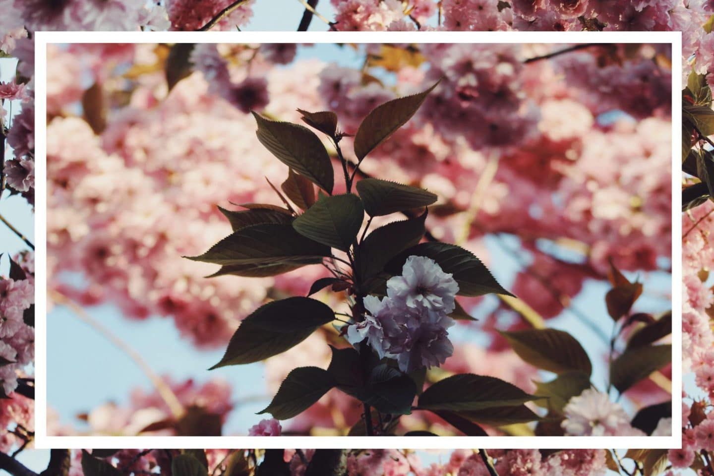 cherry-blossom-double